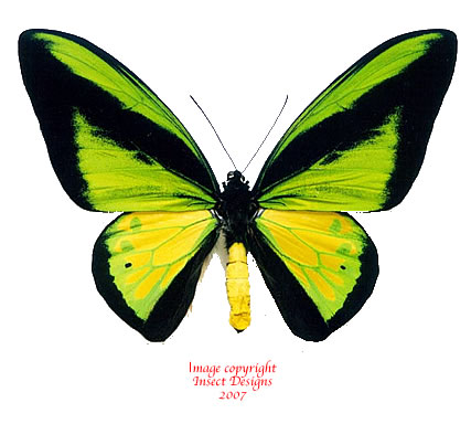 Ornithoptera goliath procus butterfly